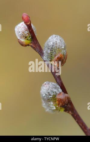 willow catkins, Lower Saxony, Germany, Salix spec. - Stock Photo