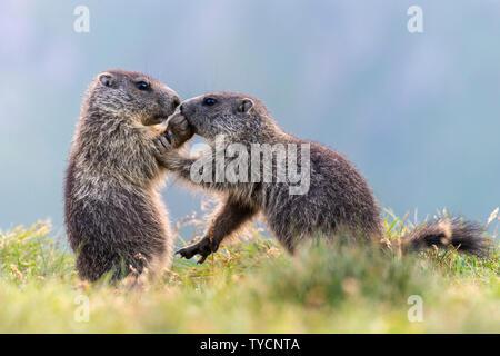 Alpine Marmot, Marmota marmota, Hohe Tauern national park, Carinthia, Austria - Stock Photo