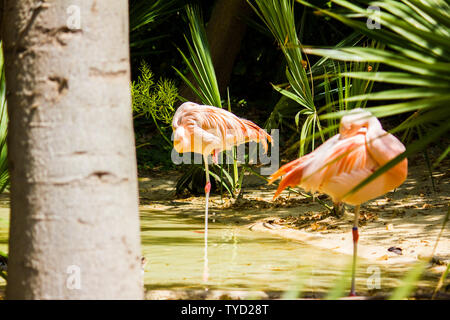 A two pink flamingos in a pond - Stock Photo