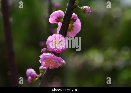 Peach blossom magnolia in spring - Stock Photo