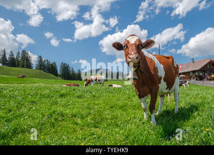 Beautiful cow with cowbell in an alpine pasture in the Swiss alps in front of a typical Swiss farm with a Swiss flag on a beautiful sunny day with blu - Stock Photo