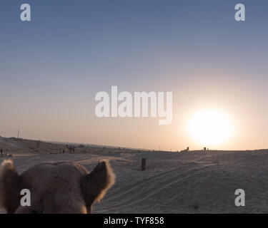 Camel ears while on camel ride in Rajasthan desert with sunset in background - Stock Photo