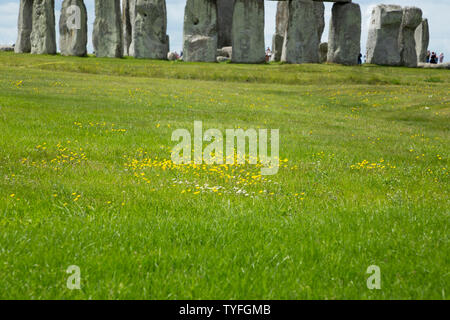 Wild flower colony flowers; buttercup / daisy / daisies / buttercups growing in green grass beside an ancient monument ( Stonehenge Stone Henge ) UK (109) - Stock Photo