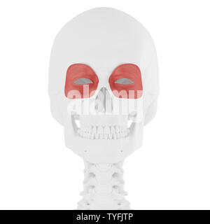 3d rendered medically accurate illustration of the Orbicularis Oculi - Stock Photo