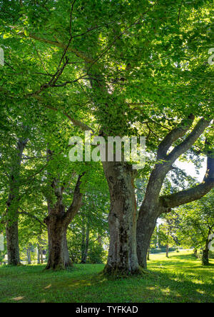 Large-leaved Linden (Tilia platyphyllos) in the park of Hoehenried, Bavaria, Germany, Europe - Stock Photo