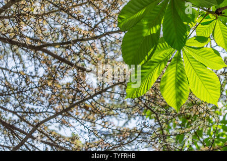 Looking up to conker tree leaves and pine tree branches. - Stock Photo