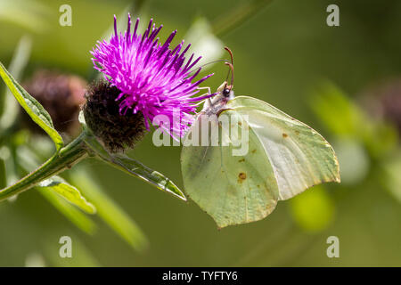 Brimstone butterfly (Gonepteryx rhamni) uniquely shaped wings paler female adult in summertime on purple floret of a knapweed perennial. - Stock Photo