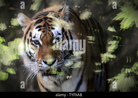 Olomouc, Czech Republic. 26th June, 2019. Siberian tiger male called Amur looks at itself reflected in glass in the outdoor enclosure at Olomouc Zoo in the Czech Republic. The Siberian tiger is the largest living cat in the world. Credit: Slavek Ruta/ZUMA Wire/Alamy Live News - Stock Photo