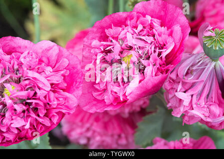 A Closeup of Beautiful Pink Double Opium Poppy Flowers in Bloom in a Garden in Alsager Cheshire England United Kingdom UK - Stock Photo