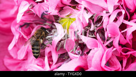 A Honey Bee Looking for Food on a Pink Double Opium Poppy Flower in a Garden in Alsager Cheshire England United Kingdom UK - Stock Photo