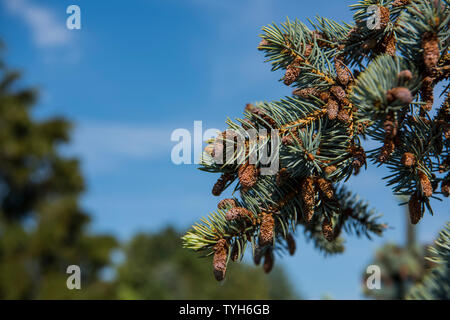 Fir-tree branches with cones on blue sky background. - Stock Photo