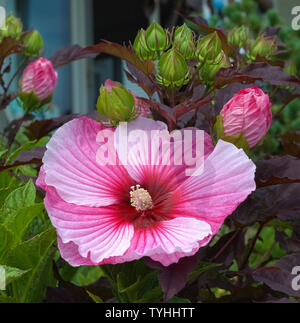 Flower buds of a variegated red, pink and white hibiscus plant open in the summertime to add color to a Connecticut garden in New England, USA. There are nearly 700 species of hibiscus, a popular ornamental plant that is in the mallow family and known for its showy flowers. - Stock Photo