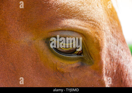 Eye of the horse red color close up. - Stock Photo