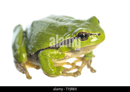 European tree frog (Hyla arborea) sitting on white background - Stock Photo