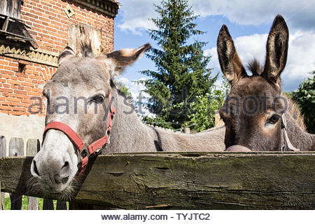 Portrait of a donkey couple at a barnyard - Stock Photo