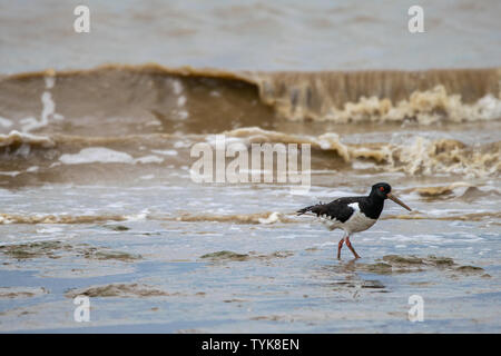 Common Pied Oystercatcher (Haematopus ostralegus) searching for food at low tide in the Dengie mud flats, Bradwell on Sea, Essex, UK - Stock Photo