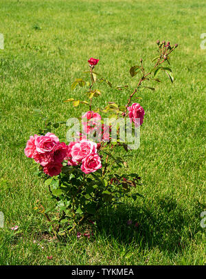 Bush of the rose on background of the green herb at solar day in year season - Stock Photo