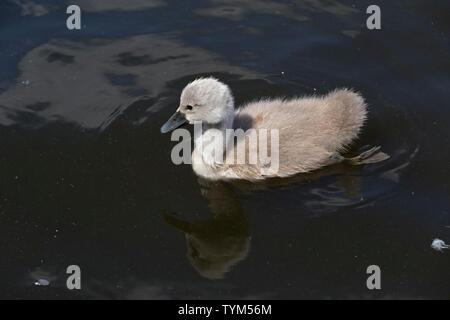 mute swan chicks (Cygnus olor), Inner Alster, Hamburg, Germany - Stock Photo