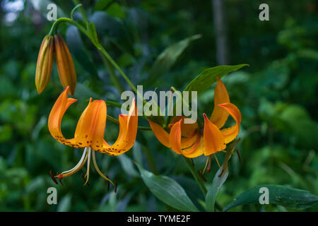 Turk's Cap Lily close-up - Stock Photo
