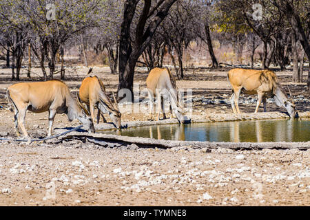 Kudu at an artificial water hole in a Namibian forest, Namibia. - Stock Photo