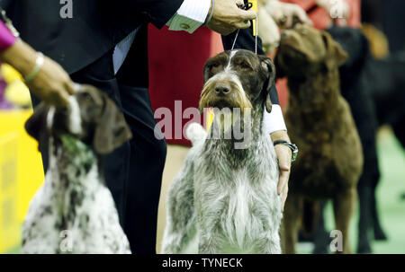 Oakley, the German Wirehaired Pointer, wins the sporting group at the 137th Annual Westminster Kennel Club Dog Show at Madison Square Garden in New York City on February 12, 2013.      UPI/John Angelillo - Stock Photo