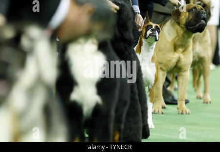A Boxer waits to compete in the Working Group at the 137th Annual Westminster Kennel Club Dog Show at Madison Square Garden in New York City on February 12, 2013.      UPI/John Angelillo - Stock Photo