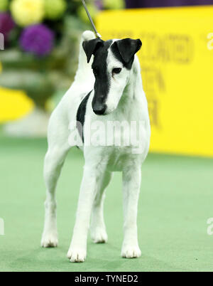 A Smooth Fox Terrier named Adam competes and wins the Terrier Group at the 137th Annual Westminster Kennel Club Dog Show at Madison Square Garden in New York City on February 12, 2013.      UPI/John Angelillo - Stock Photo