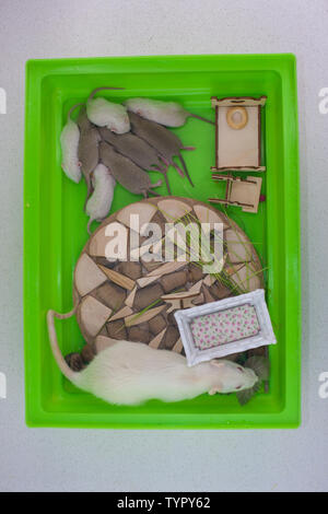 The concept of children's room. Mom mouse is sitting in a cage with her cubs on the background of a baby cot. The rat takes care of its offspring. - Stock Photo