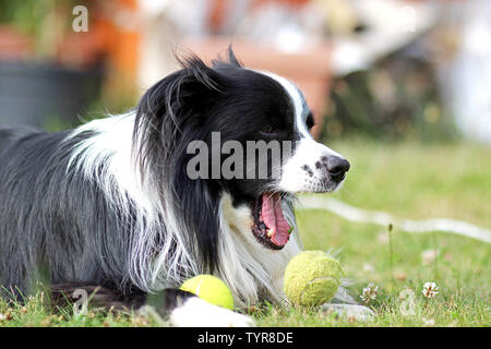 Dog is lying in grass in park. The breed is Border collie. Background is green. He has a tennis ball in the mouth. The dog is playing and he is happy. - Stock Photo