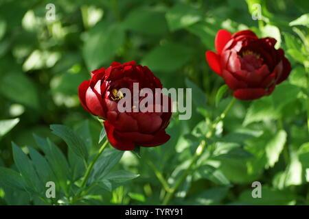 Paeonia Buckeye Belle. Red peony flower. Paeonia lactiflora (Chinese peony or common garden peony). Two flowers - Stock Photo