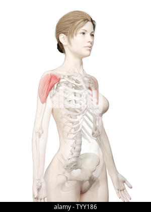 3d rendered medically accurate illustration of a womans Deltoid - Stock Photo