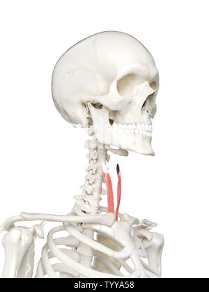 3d rendered medically accurate illustration of a females sternothyroid - Stock Photo