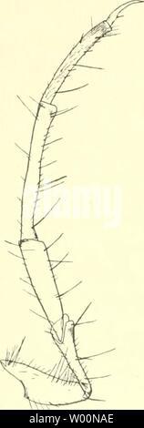 Archive image from page 39 of Die Fauna südwest-Australiens Ergebnisse der. Die Fauna südwest-Australiens. Ergebnisse der Hamburger südwest-australischen Forschungsreise 1905  diefaunasdwest020104mich Year: 1907-08  32 Georg Ulmer, Larven B (fßen, ? sp, ?), Diese Larven gehören wahrscheinlich auch zu den Triplectidinae, zeigen aber gegen die bisher bekannten schon bedeutendere Abweichungen. Kopf oben schwarzbraun, mit nur einem medianen gelben Punkte, die Seitenteile der Pleuren gelb bis graugelb, mit dunkleren Punkten; Unterfläche des Kopfes braun, mit meist undeutlichen dunkelbraunen Punkten - Stock Photo