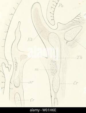 Archive image from page 86 of Die Epiglottis; vergleichend-anatomische Studie, mit. Die Epiglottis; vergleichend-anatomische Studie, mit 2 Tafeln und 15 Abbildungen im Texte  dieepiglottisver00gegeuoft Year: 1892  5> - Stock Photo