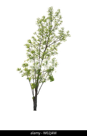 Isolated Bright green tree on a white background with clipping path. - Stock Photo