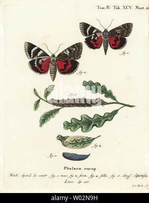 Dark crimson underwing, Catocala sponsa. Handcoloured copperplate engraving by Johann Carl Bock after Eugenius Johann Christoph Esper's Die Schmetterlinge in Abbildungen nach der Natur, Erlangen, 1786. - Stock Photo