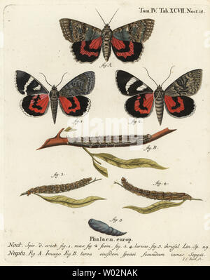 Red underwing moth, Catocala nupta. Handcoloured copperplate engraving by Johann Carl Bock after Eugenius Johann Christoph Esper's Die Schmetterlinge in Abbildungen nach der Natur, Erlangen, 1786. - Stock Photo