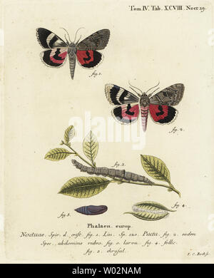 Catocala pacta moth. Handcoloured copperplate engraving by Johann Carl Bock after Eugenius Johann Christoph Esper's Die Schmetterlinge in Abbildungen nach der Natur, Erlangen, 1786. - Stock Photo