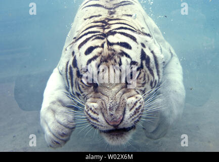 Odin, a white Bengal tiger, swims with his eyes wide open as he dives under water for a piece of meat at Odin's Temple of the Tiger exhibit at Six Flags Discovery Kingdom, Vallejo, California, on July 23, 2009.  In the wild, all of the big cat species will will dive under water to get its prey or just cool off.  UPI/Ken James - Stock Photo