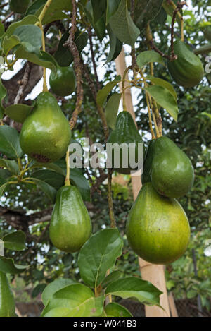 Natural beautiful avocado tree landscape in Panama