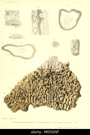 Archive image from page 338 of Die fossile Flora der Permischen. Die fossile Flora der Permischen Formation  diefossileflorad00gppe Year: 1864 - Stock Photo
