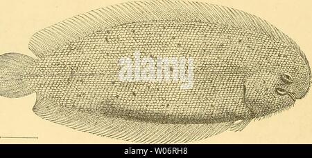 Archive image from page 457 of Die Fische der Siboga-expedition (1913). Die Fische der Siboga-expedition  diefischedersibo00webe Year: 1913  438 4- Aseraggodes microlcpidotiis n. sp. (Taf. XI, Fig. 2). Stat. 312. 8°i9'S.B., ii7°4i'Ö.L. Saleh-Bai, Sumbawa. 274 M. Sandiger Schlamm, i Ex. 92 mm. D. 70; A. 53; V. 5 ; C. 18; 1.1. ca 92—94; 1. t. ca 66. Höhe geht 2/5, Kopf 4 mal in die Länge ohne Caudale. Das obere Auge springt kaum vor dem unteren vor, sie sind getrennt durch einen flachen, beschuppten Zwischenraum, ungefähr halb so breit wie der Augendurchmesser, der 4'/., mal in die Kopflänge geh - Stock Photo