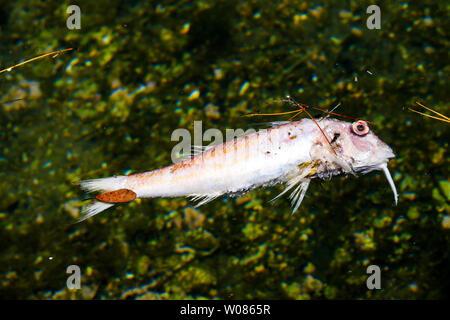 Dead fish, Morgiou harbor, Calanque of Morgiou, calanques of Marseille area, Bouches-du-Rhone, France - Stock Photo