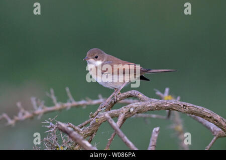 Common Whitethroat (Sylvia communi) - Stock Photo