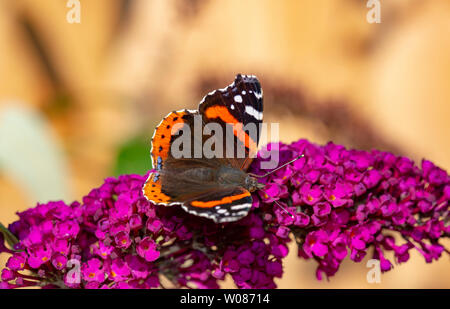 Red admiral butterfly feeding on buddleja in an English garden - Stock Photo
