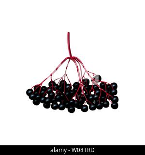 Isolated black berries on a tree branch. black currant, elderberry, chokeberry. fruits isolated. - Stock Photo