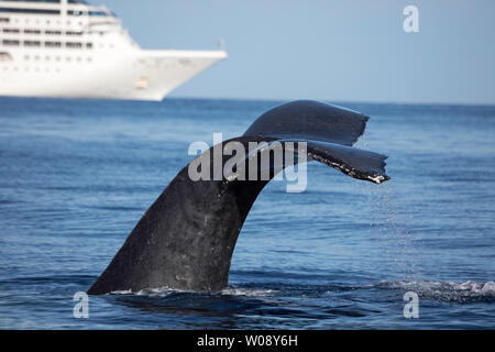 A humpback whale, Megaptera novaeangliae, lifts it's fluke in front of a large cruise ship off the island of Maui, Hawaii. - Stock Photo