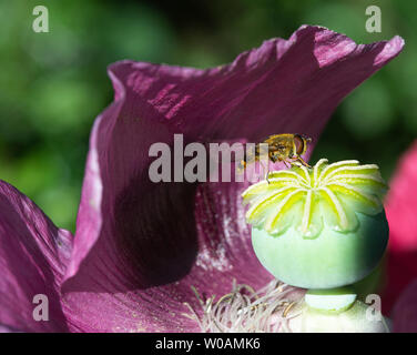 A Hoverfly Enjoying the Warmth on a Purple Opium Poppy in a Garden in Alsager Cheshire England United Kingdom UK - Stock Photo