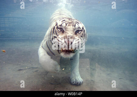 Odin, a white Bengal tiger, swims with his eyes wide open as he dives under water for a piece of meat at Odin's Temple of the Tiger exhibit at Six Flags Discovery Kingdom, Vallejo, California, on July 23, 2009.  In the wild, all of the big cat species will will dive under water to get its prey or just cool off.  (UPI Photo/Ken James) - Stock Photo