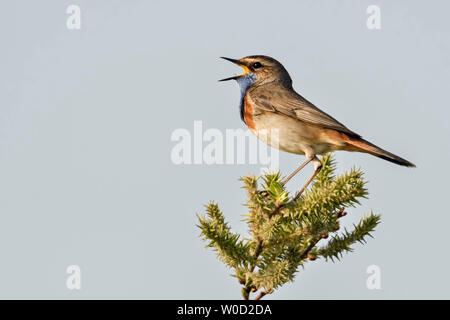 White-spotted Bluethroat / Blaukehlchen ( Luscinia svecica ) adult male, perched on top of a bush, singing , wildlife, Europe. - Stock Photo